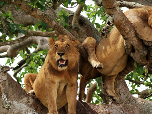 Tree Climbing lions of Queen Elizabeth National Park