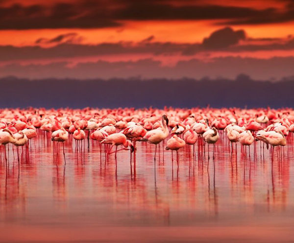 Masses of flamingos on Lake Nakrur